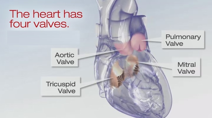 Heart valve illustration.