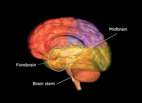 The brain stem with labeled parts