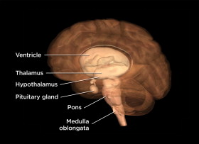 Labeled parts of the forebrain